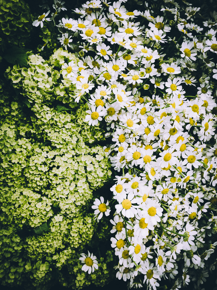 Daisy Evergreens